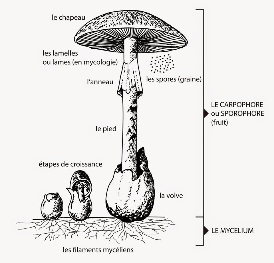Cycle de croissance et morphologie du champignon